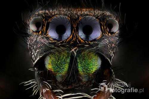 Na zdjęciu widzimy głowę pająka, dokładniej Skakuna. Nazwa gatunkowa to Phidippus regius. Występuje w południowo-wschodnich rejonach USA, Wielkich Antylach oraz na Bahamach, ale najczęściej na półwyspie Floryda.