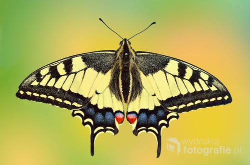 Zdjęcie przedstawia pięknego motyla Paź Królowej ( Papilio machaon ).