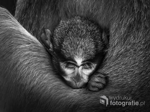Mały makak wtulony w matkę w gdańskim zoo.