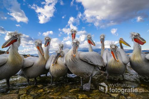 Pelikany kędzierzawe. Jezioro Kerkini, Grecja.