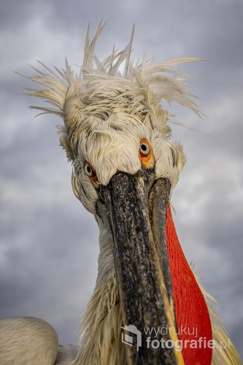 Pelikan kędzierzawy, jezioro Kerkini, Grecja.