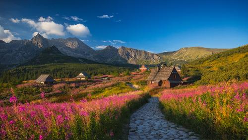 Jeden z najpiękniejszych, letnich widoków w Tatrach -  Wierzbówka Kiprzyca, kwitnąca w okół Betlejemki, na zawsze pięknej Hali Gąsienicowej.  Lato 2017