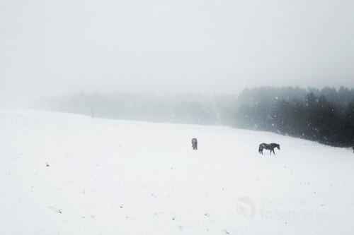 Horses from Żerdenka 9Bieszczady) 2016