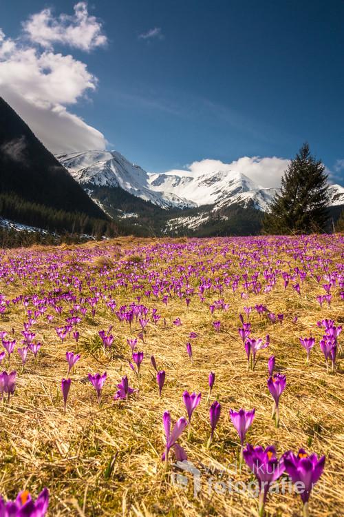 Każdego roku na wiosnę tysiące krokusów budzi się do życia na Polanie Chochołowskiej tworząc spektakularny fioletowy dywan.