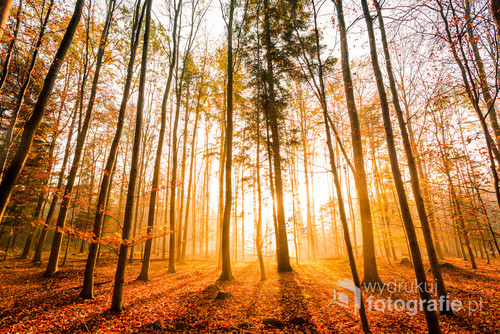 Pięknu bukowy las ozłocony wschodzącym słońcem