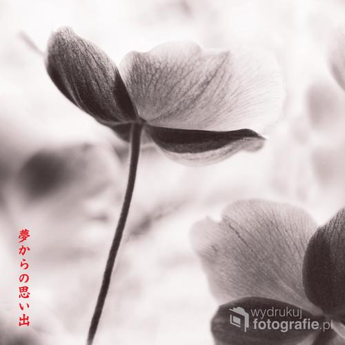 Anemony lub jak wolicie Państwo zawilce przy magicznej pomocy fotograficznej postprodukcji.