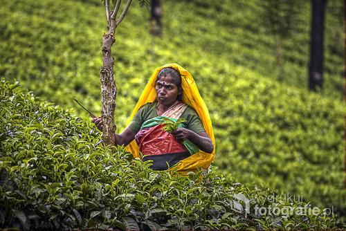Tamilska kobieta zbierająca herbatę w górach Sri Lanki. 2014.