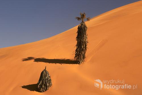 samotne drzewka na wydmie nr.7 w okolicy Walvis Bay, Namibia. 2013