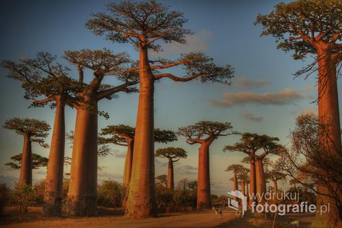 Jedyne w swoim rodzaju smukłe baobaby w zachodnim Madagaskarze - o zachodzie słońca. Według legendy Stwórca odwrócił je do korzeniami do góry, bo gęste korony drzew przesłaniały mu widok na poczynania ludzi. 2016. Zdjęcie z wystawy