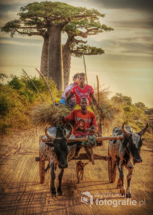 Typowy środek transportu na Madagaskarze w alei baobabów. 2016. Zdjęcie opublikowane w National Geographic. Wyróżnienie w konkursie ND Awards 2017.  https://ndawards.net/winners-gallery/nd-awards-2017/non-professional/travel-culture/hm/7341