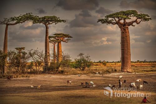 Pod baobabami w zachodnim Madagaskarze o zachodzie słońca. 2016.
