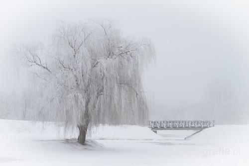 Samotne ośnieżone drzewo z mostem w tle w mgliste zimowe popołudnie. Park w Kaliszu 2017r.