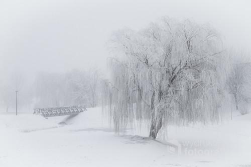 Samotne ośnieżone drzewo w mgliste zimowe popołudnie. Park w Kaliszu 2017r.