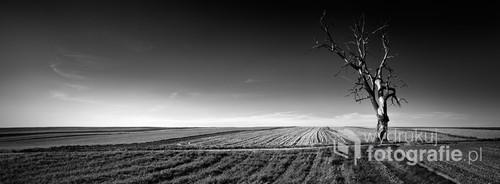 Panoramiczny widok na stare osamotnione drzewo pośród pól.
