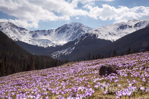 Kwitnące krokusy w Dolinie Chochołowskiej, tatry.