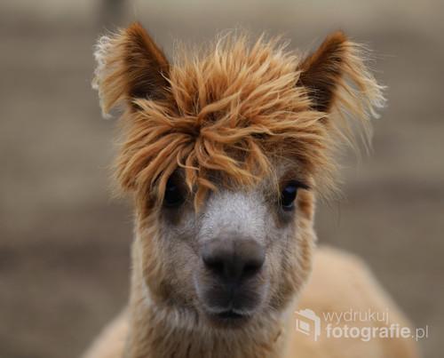 Jadąc do stadniny koni spotkałem taką oto istotę z nietuzinkowa fryzurą jak na zwierzątko.