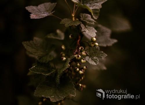 gałązka z porzeczkami wśród liści na ciemnym tle