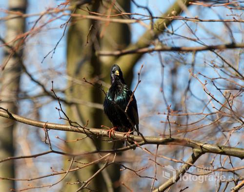 Szpak to popularny ptak ale ten miał wyjątkową minę więc został utrwalony.