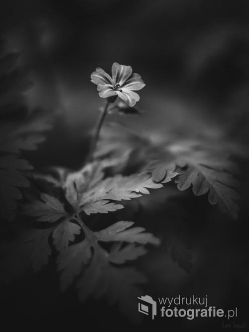 Drobny kwiatek dziko rosnący na łące.