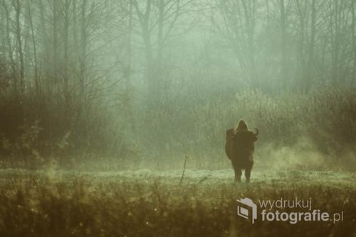 Zdjęcie żubra wykonane o świcie na Polanie Białowieskiej.  Zdjęcie prezentowane na wystawie pokonkursowej im. W. Wołkowa