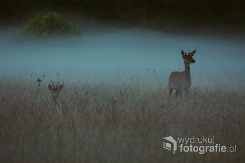 Młody jeleń i koziołek sarny na śródleśnej polanie w Puszczy Białowieskiej. Zdjęcie zrobiłam tuż przed wschodem słońca, kiedy polany były jeszcze spowite mgłą.
