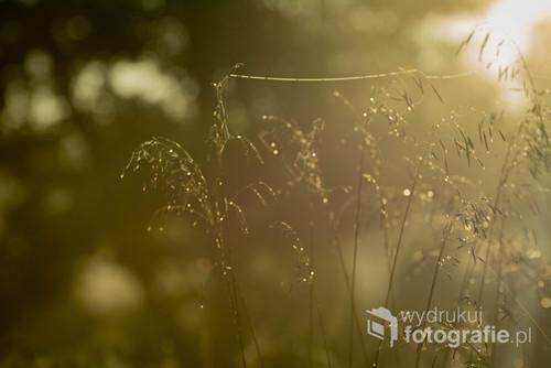 Źdźbła trawy w miękkim świetle wschodzącego słońca.
