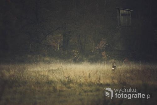 Sarna spotkana podczas wędrówki o wschodzie słońca. Puszcza Białowieska.