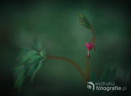 serduszka okazałe, tak nazywa się ta urocza, wyjątkowo fotogeniczna bylina ogrodowa :)