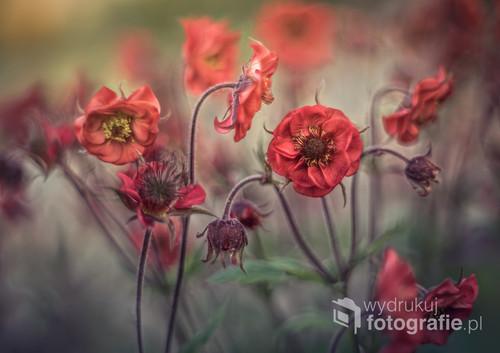 fotografia wykonana w moim ogrodzie, przedstawia kwiaty kuklika, byliny ogrodowej, występującej w kilu odmianach. Fotografię wykonano obiektywem manualnym Pentacon 50mm