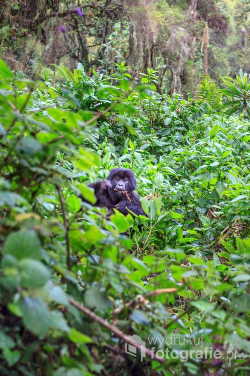 """Fotografia wykonana w Narodowym Parku Wulkanów w Rwandzie. """"Goryle to nasz skarb, goryle to nasz chleb"""" – tak mówią pracownicy Parku Narodowego Wulkanów, gdzie można oglądać jedyne na świecie, żyjące na wolności goryle górskie. W sumie w trzech parkach narodowych w Ugandzie, DR Kongo i Rwandzie żyje 880 osobników, w tym 330 na terenie Rwandy. Parkiem opiekuje się wiele wykwalifikowanych do tego osób. Noc i dzień obserwują oni zachowania goryli, śledząc ruchy całych gorylich rodzin. Dziennie ok. 50 osób ma szanse zobaczyć goryle w ich naturalnym środowisku. Obecnie na szczęście nie ma już przypadków kłusownictwa, tak jak jeszcze w latach 80. XX wieku, kiedy to polowano na goryle i robiono z nich trofea lub sprzedawano do prywatnych europejskich zoo."""