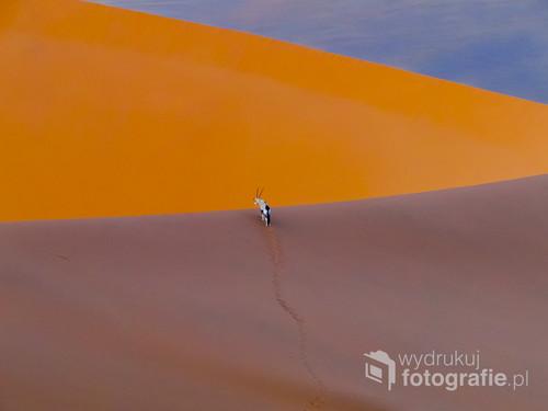 Fotografia przedstawia oryksa spacerującego po wydmach pustyni Namib. Oryksy są przykładem doskonałej adaptacji do warunków pustynnych. Gdy temperatura powietrza staje się zbyt wysoka, aby nie tracić cennej wody antylopa przestaje się pocić. Osiąga to wyrównując temperaturę swojego ciała do temperatury otoczenia. Maksymalna temperatura do jakiej może podgrzać swoje ciało to aż 46 °C! Fotografia wyróżniona jako zdjęcie miesiąca w magazynie National  Geographic Traveler (01/2019).