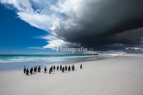 Pingwiny Królewskie, plaża Volunteer Point, Falklandy, 2012