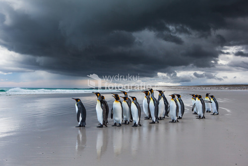 """Pingwiny Królewskie, plaża Volunteer Point, Falklandy, 2012 National Geographic - """"After the rain"""