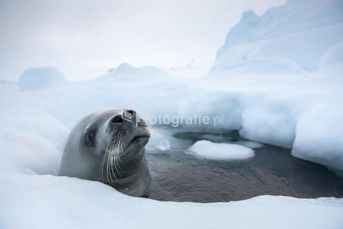 Foka Krabojad, Półwysep Antarktyczny, ANtarktyda