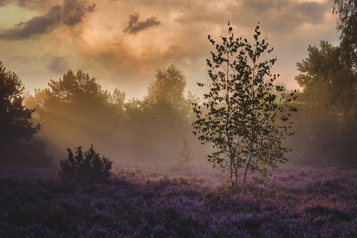 Wrześniowy, mglisty ranek na podwarszawskim wrzosowisku Mostówka, wrzesień 2021.