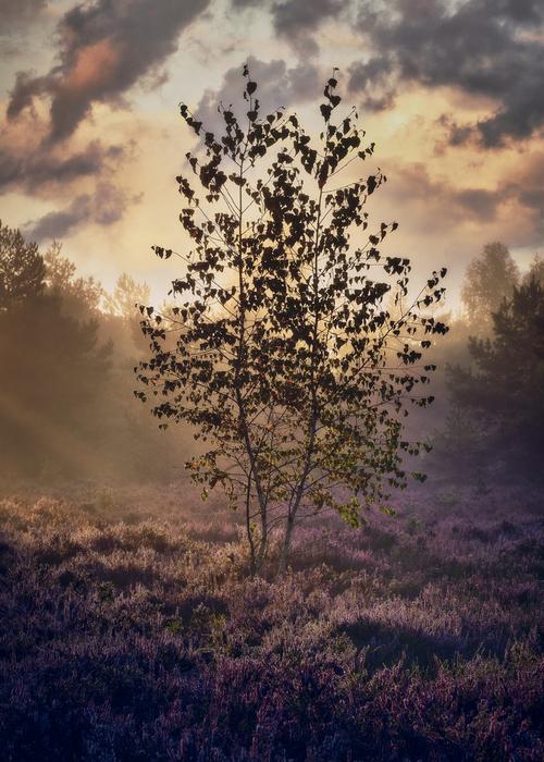 Wrześniowy mglisty ranek na podwarszawskim wrzosowisku Mostówka. Jest to jedna z największych lokacji tego rodzaju w Polsce, niestety powoli zarastająca już lasem.