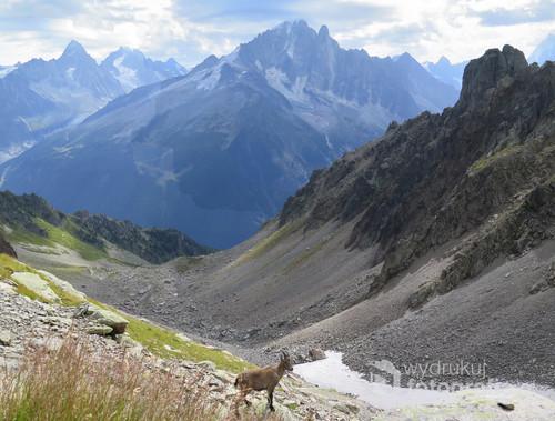 Ibex uchwycony na alpejskim szlaku, sierpień 2017.