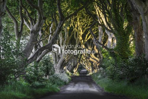 Aleja Dark Hedges w Irlandii Północnej, 2013