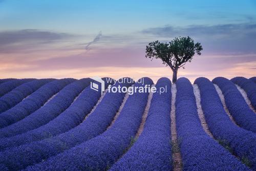 Pole kwitnącej lawendy o zachodzie słońca w Valensole, Francja