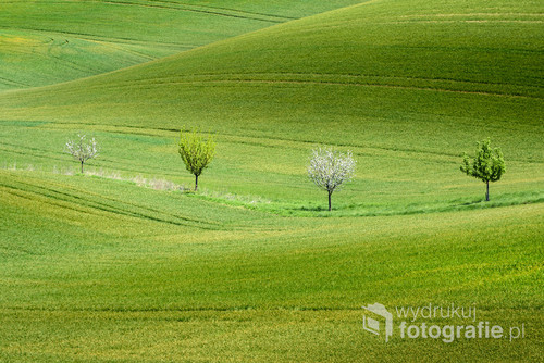 Four trees on wavy green field, South Moravia, Czech Republic