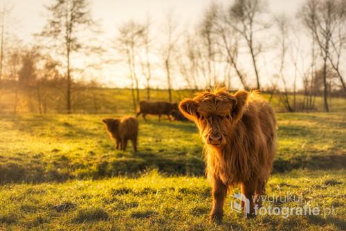 Niesamowicie pogodny i ciepły koniec na listopada na jednej z podkrakowskich stadnin. Młodziutka,ciekawska szkocka krowa na polskiej ziemi. Wokół cały czas krążyły dorosłe osobniki, więc musiałem uważać z bliższym podchodzeniem pod młodego :)