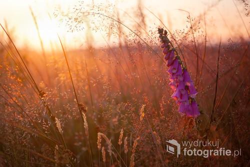 Fotografia przedstawia kwiat w trawach Beskidu Śląskiego, oświetlony ostatnimi promieniami słońca tego dnia.