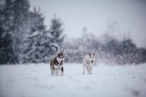 szczeniaki rasy syberian husky
