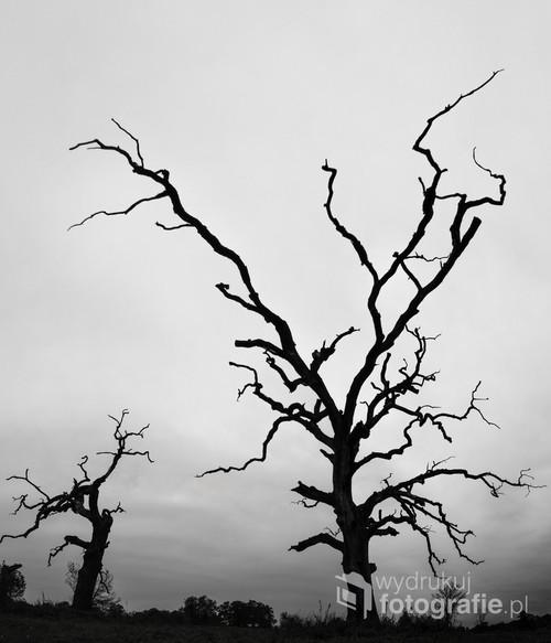 Zdjęcie cz-b zrobione niedaleko Poznania z dwóch ujęć bardzo szerokim kątem w ponure popołudnie z nieciekawym światłem. Miałem mało czasu na przymiarki i inne pomysły, a chciałem jak najbardziej sugestywnie pokazać ciekawy, może groźny i nieco ponury klimat krajobrazu z usychającymi drzewami. Format 7:6