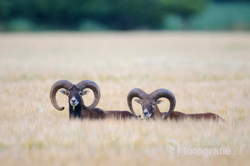 Zdjęcie przedstawia dwa tryki (samce) muflona na polu jęczmienia. Zdjęcie zostało zrobione na terenie Gminy Dopiewo.