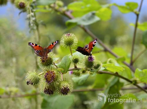 Rusałka pawik, Inachis io