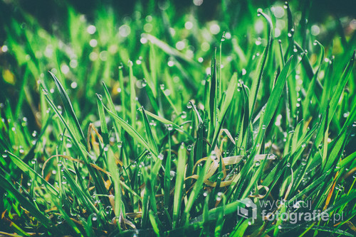 Wiosenna poranna rosa na trawie