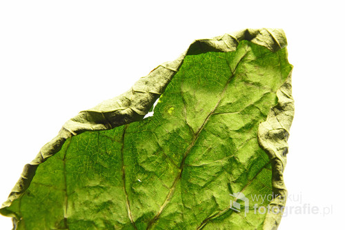 Ostatni zielony liść tej jesieni.