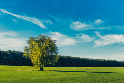 Samotne drzewo w pobliskiej wsi.