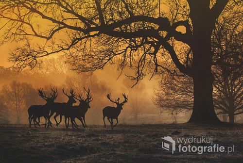 Zdjęcie przedstawia biegnące jelenie zaraz po wschodzie słońca.